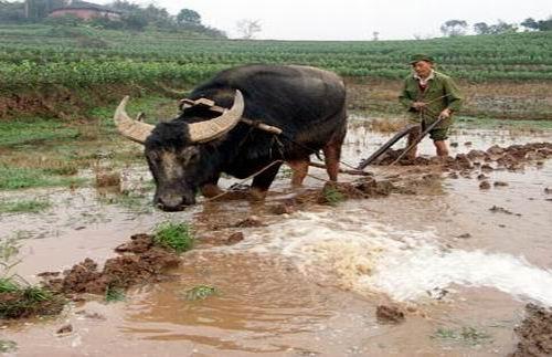老牛图片全集_印刷工业:拉犁老牛缓慢走